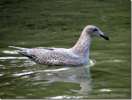 First year Glaucous Wing Gull