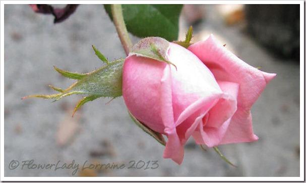 04-28-unkn-rose2