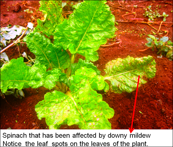 downy mildew in spinach1