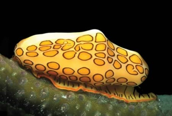 The flamingo tongue snail