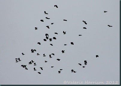 2-Lapwings