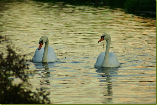 Two swans on the river