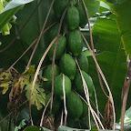 Grüne Papayas © Foto: Doreen Schütze | Outback Africa