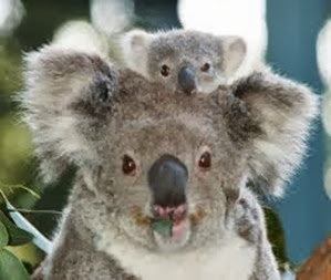 Amazing Pictures of Animals, Photo, Nature, Incredibel, Funny, Zoo, Koala, Phascolarctos cinereus, Alex (1)