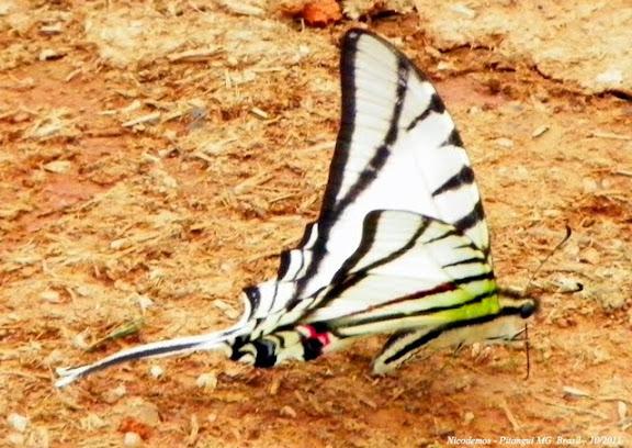 Protesilaus glaucolaus leucas (ROTHSCHILD & JORDAN, 1906). Pitangui (MG, Brésil), 30 octobre 2011. Photo : Nicodemos Rosa