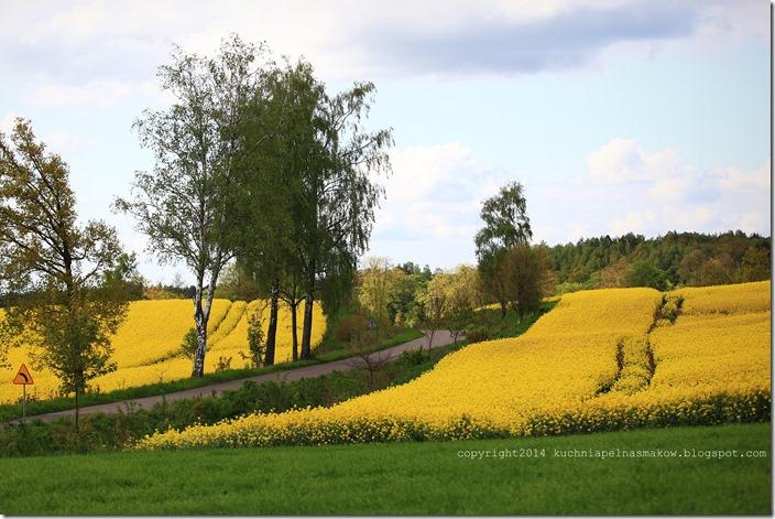 rzepakowe pola (12)