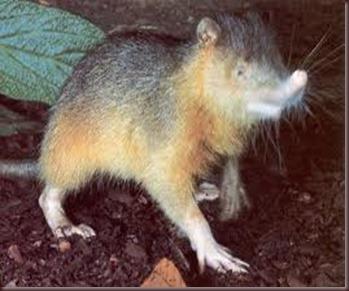 Amazing Pictures of Animals, photo, Nature exotic, funny, incredibel, Zoo, Solenodon, Mammalia, Alex (11)