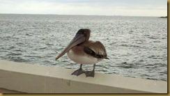 144 pelican