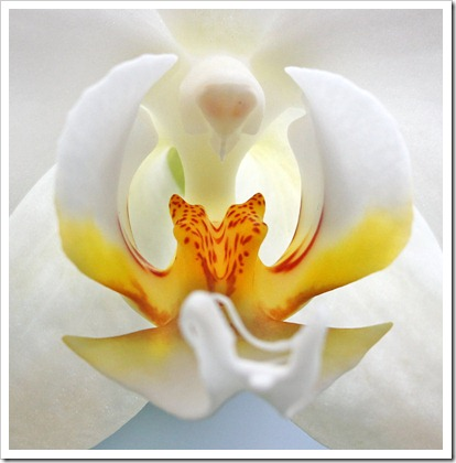 110424_Phalaenopsis6