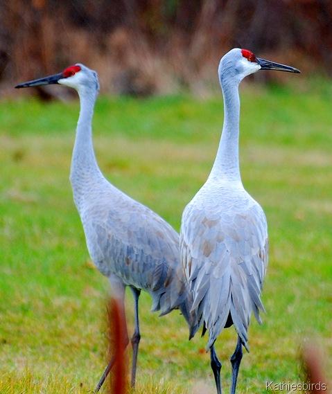 1. Sandhill cranes-kab