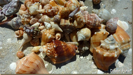 Sanibel Shell and birds_197