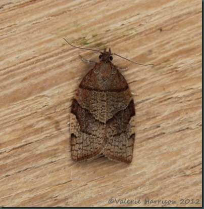 Barred-fruit-tree-tortrix (3)