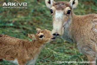 ARKive image GES034952 - Saiga antelope