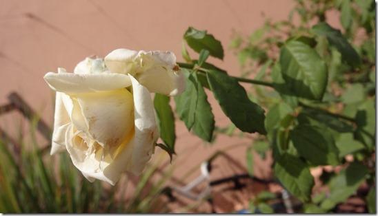 flor-flores-rosas-imagens1160