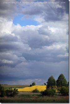 rzepakowe pola (3)