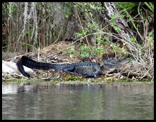 08 - Animals - Alligator 1e