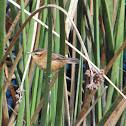 Wren-like rush-bird