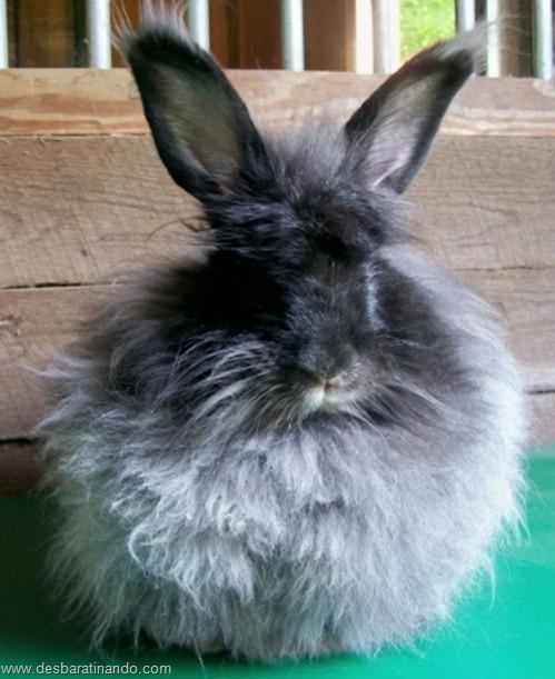 coelho angora peludo desbaratinando (11)