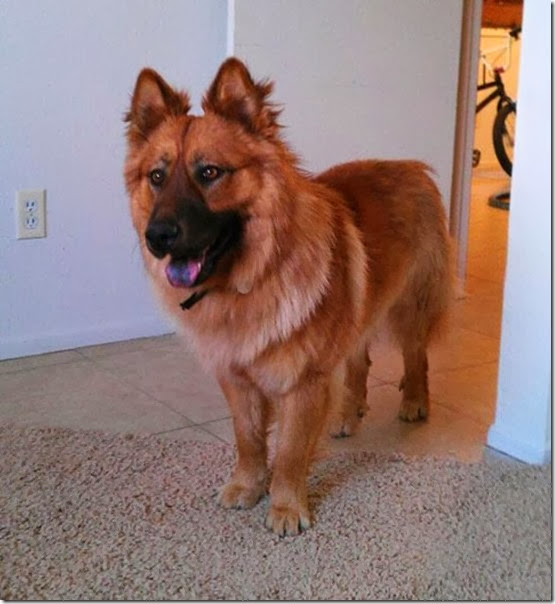 strange-dog-cross-breeds-019