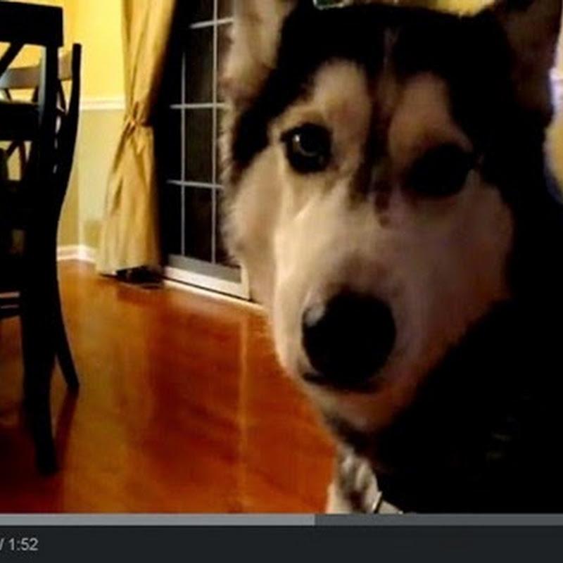 Husky Λέει Δώδεκα λέξεις
