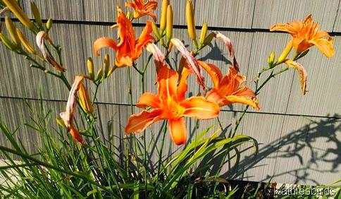 7-14-14 Daylilies