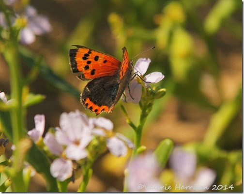 9-small-copper-on-sea-rocket