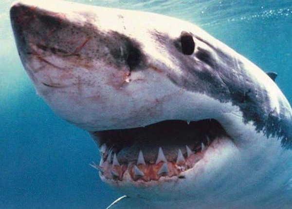 7- Os grandes tubarões brancos