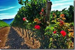 rosas-viñedos