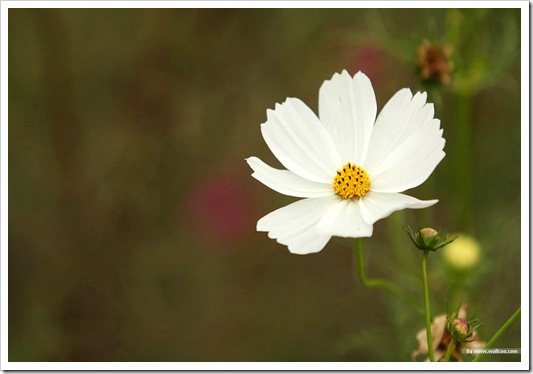 wild_flower_cosmos_photo_22674347