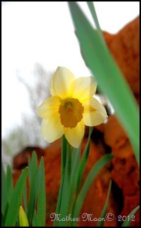 daffodil 2012