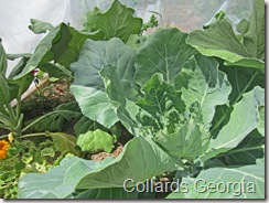 Collards_31Jul2011