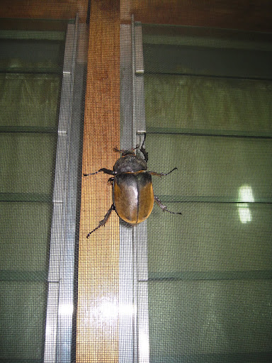 A ridiculously big Rhinosaurus Beetle at our hostel in Cahuita, Costa Rica.