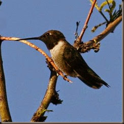 black-chinned_hummingbird2