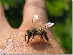včely na květu a matečniky 112