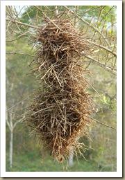 Ninho de joão-graveto (Phacellodomus rufifrons). Foto: M. Eiterer