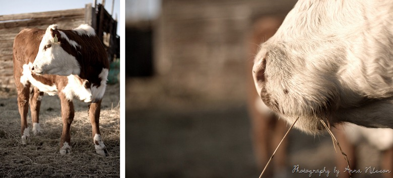 mule och kalv