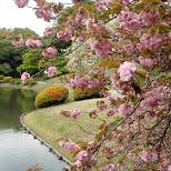 cherry blossoms in Shinjuku, Tokyo, Japan
