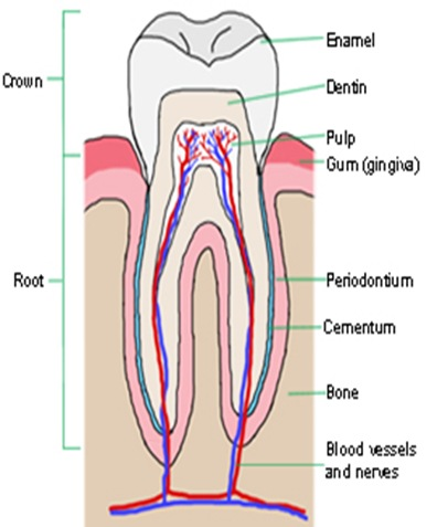 tooth-structure-1