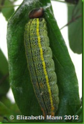 big Long-tailed skipper caterpillar for book