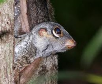 Amazing Pictures of Animals, photo, Nature, exotic, funny, incredibel, Zoo, Sunda flying lemur (Galeopterus variegatus), ALex (12)