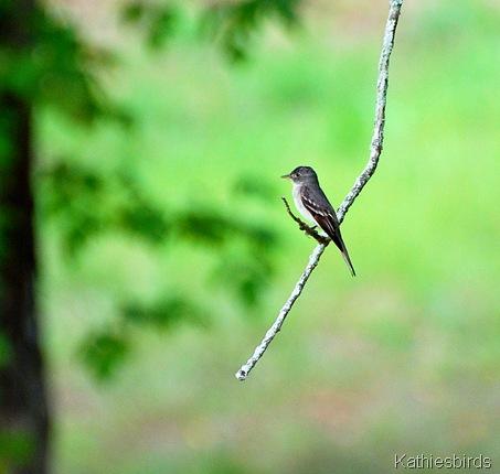 8. eastern wood pewee-kab