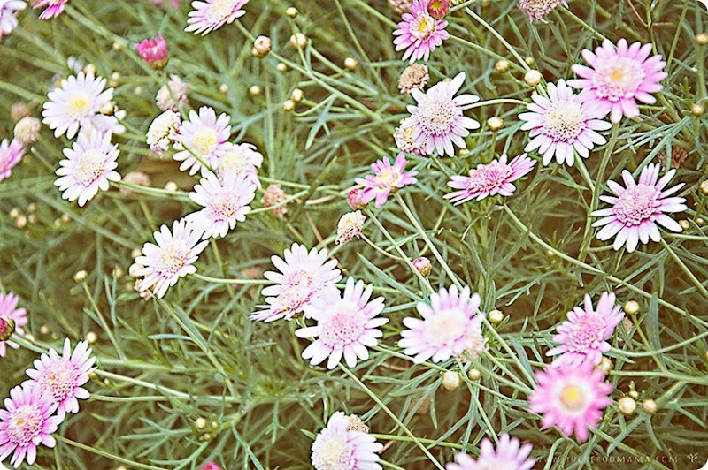 Pink-flowers-(1)