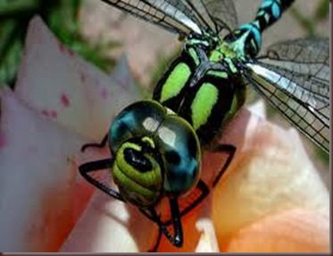 Amazing Pictures of Animals, photo Nature, exotic, funny ,incredibel Zoo, Dragonfly, Insecta, Alex (19)