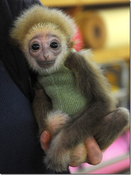 Zoo Keepers Hand Rear Baby Gibbon 01