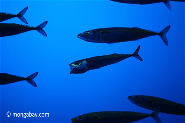 Pacific mackerel (Scomber japonicus). Photo: Rhett A. Butler