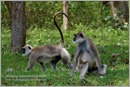 _P6A2102_grey_langur_monkey_mudumalai_bandipur_sanctuary