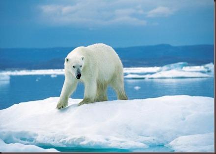 Amazing Animals Pictures Polic Bear (6)