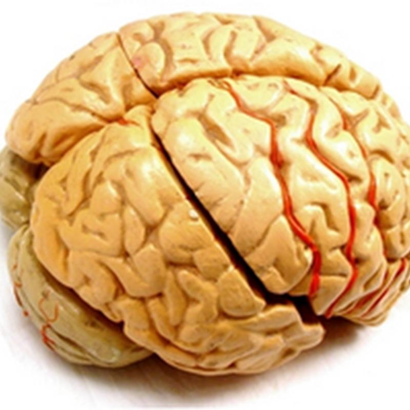 The cerebrum I