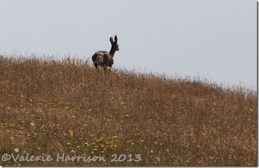 33-roe-deer