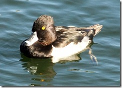 Ring-necked duck best 10-25-2012 9-13-58 AM 1608x1158